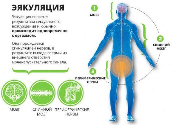 Что такое эякуляция?