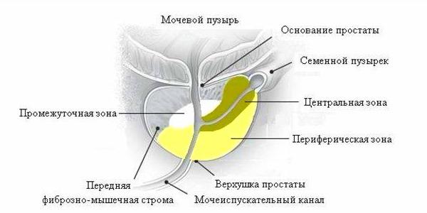 Схема тканей простаты, в которых происходят изменения