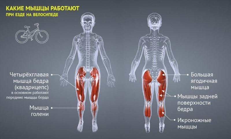 Какие мышцы задействует велосипед