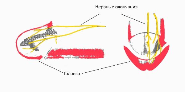 Схема расположения нервных окончаний пениса