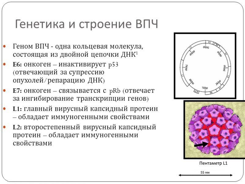Строение молекулы ВПЧ