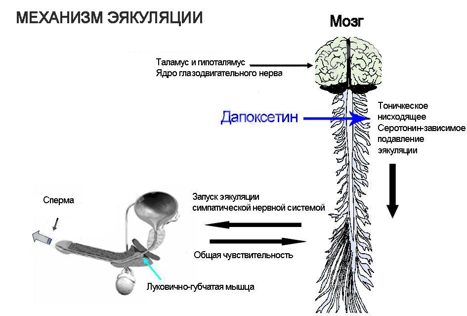 Механизм влияния препарата на эрекцию