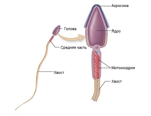 Строение здорового сперматозоида